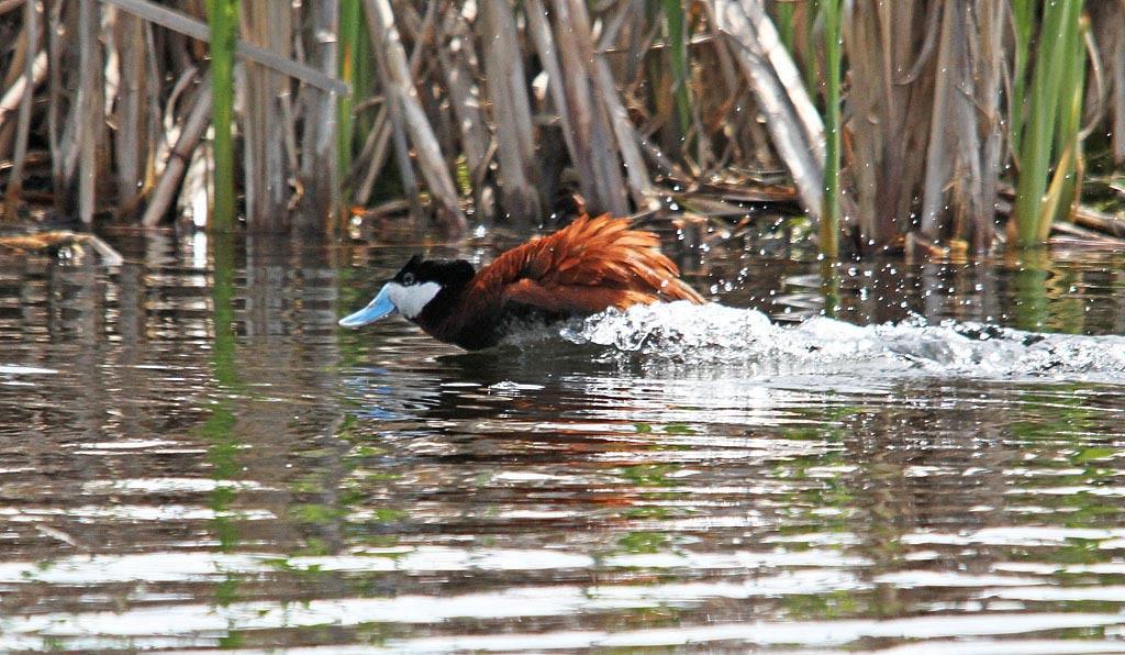 IMAGE: https://photos.smugmug.com/All-the-Birds/Water-Birds/i-BwwRpcx/0/c11a8899/XL/042-RDuck-XL.jpg