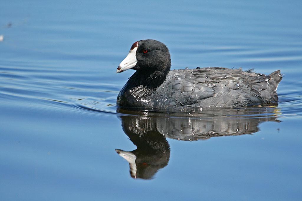 IMAGE: https://photos.smugmug.com/All-the-Birds/Water-Birds/i-bKpkgRd/0/ef8af867/XL/Elizabeth%20Lake%20363_edited-1-XL.jpg