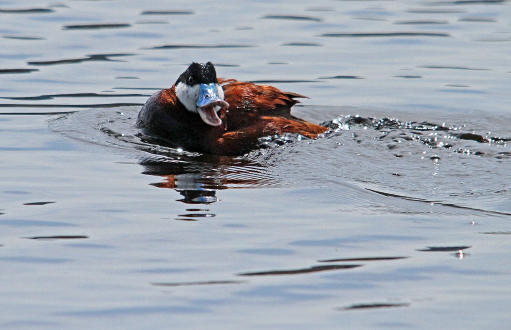 IMAGE: https://photos.smugmug.com/All-the-Birds/Water-Birds/i-tQQhTdZ/0/9a5ad133/O/032_edited-1.jpg