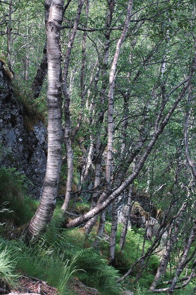 norwegian wood...on hike back from pulpit rock