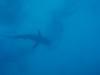 reef shark below