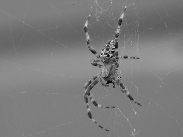 Orb Weaver in black and white