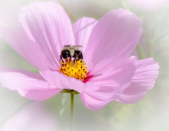 bumble in pink bloom