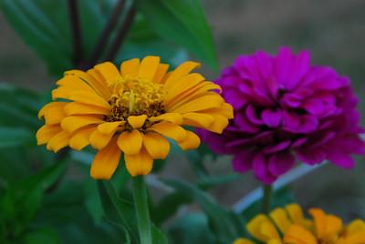 Domestic flowers, Nebraska.