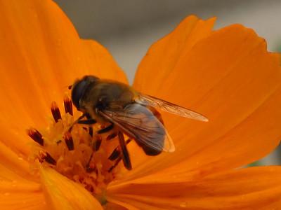 Honeybee, photographed in Grantsville, Maryland.