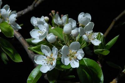 Pear Blossoms, Nebraska.
