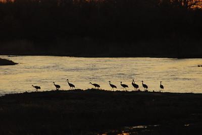 Sandhill Cranes on Platte River, near Kearney, NE.