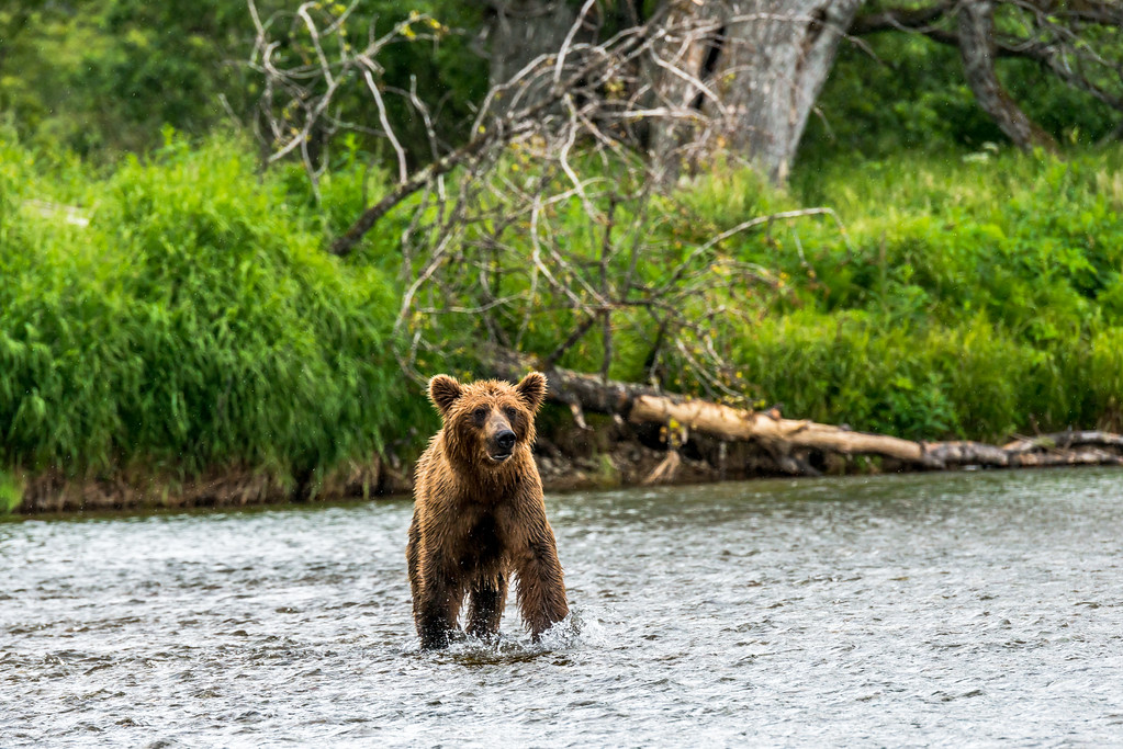 Young Grizzly chasing Sockeye Salmon