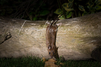 Wood mouse at night