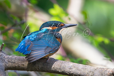Kingfisher close up