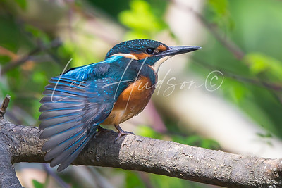 Kingfisher fanning wing