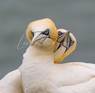 Gannets Entwined