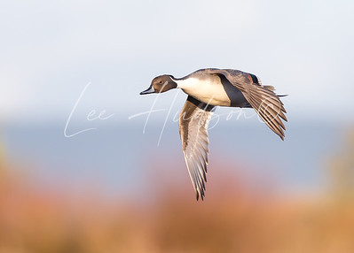 Northern Pintail Drake in flight (ref: NP01)