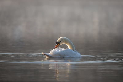 Swan at First Light