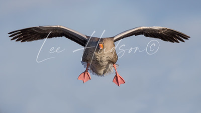 Greylag goose in flight (ref: GG02)