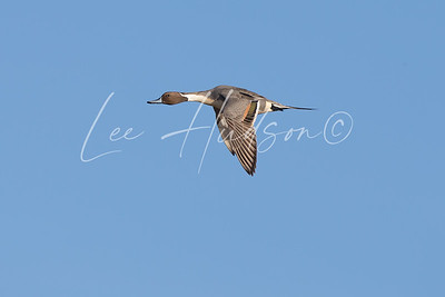Northern pintail drake in flight