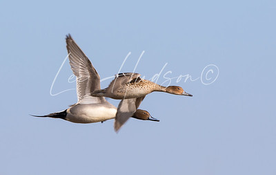 Northern Pintail breeding pair