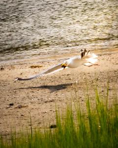 Quahog for Breakfast - seagull feeding at morning low tide in Buzzards Bay, Massachusetts