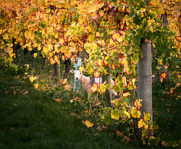 Hiding in the Vineyard