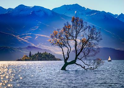 """Evening Sun on the """"Wanaka Tree"""""""