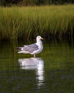 Seagull Reflection - Cape Cod