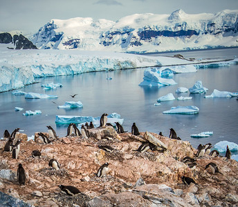 Breeding Gentoo Penguins, Antarctica