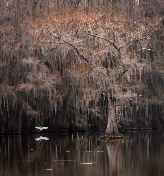 Egret landing under a Bald Cypress tree at Caddo Lake (Texas)