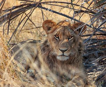 Young lion watching from the bush - Botswana