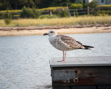 Perched on the Dock - Cape Cod