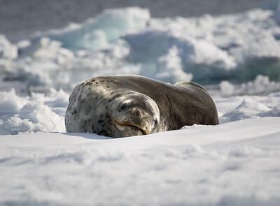 Sunbathing Seal, Antarctica
