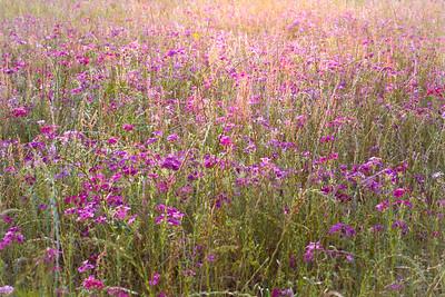 Evening Sun on Texas Wildflowers