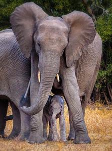 Mother Elephant with Newborn