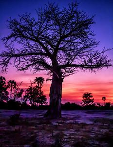 Majestic Baobab Tree at Sunset