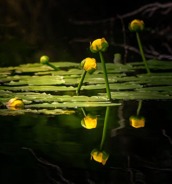 Water Lillies in Morning Sun
