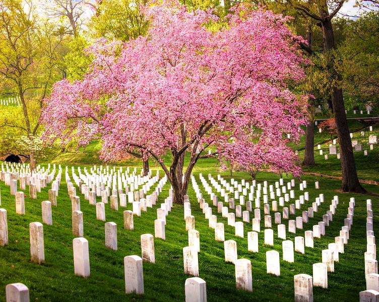 Cherry Blossom Tree at Washington National Cemetry
