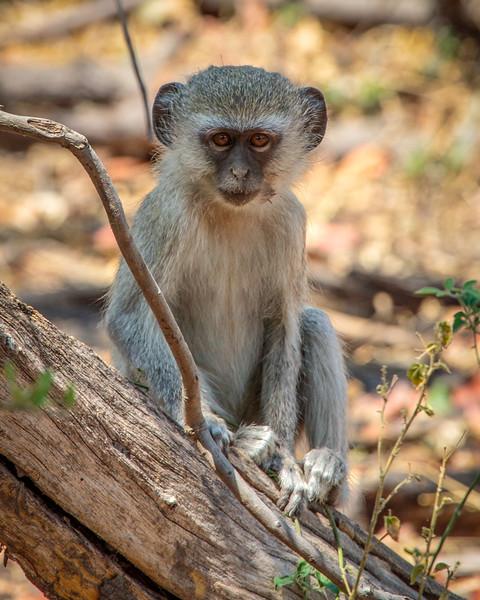 Baby monkey with eyes on the camera - Botswana