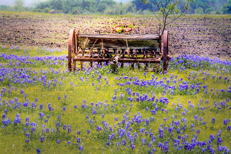 "Farming antique ""set out to pasture"" among the bluebonnets"