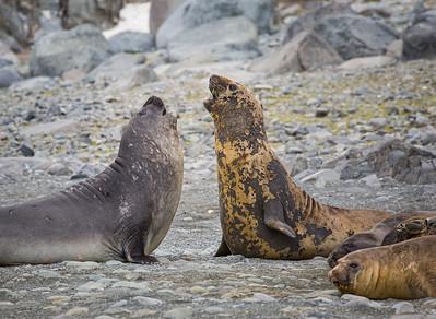Elephant Seals in Combat