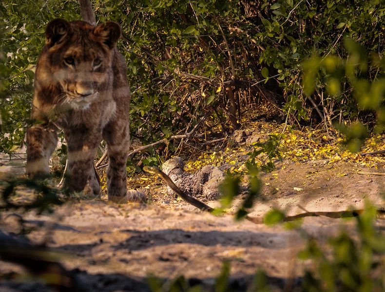 Lion Cub Confronting a Black Mamba Snake