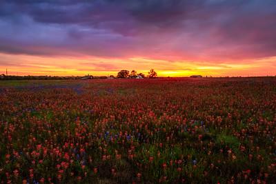 Wildflower Pasture at Sunrise, Texas