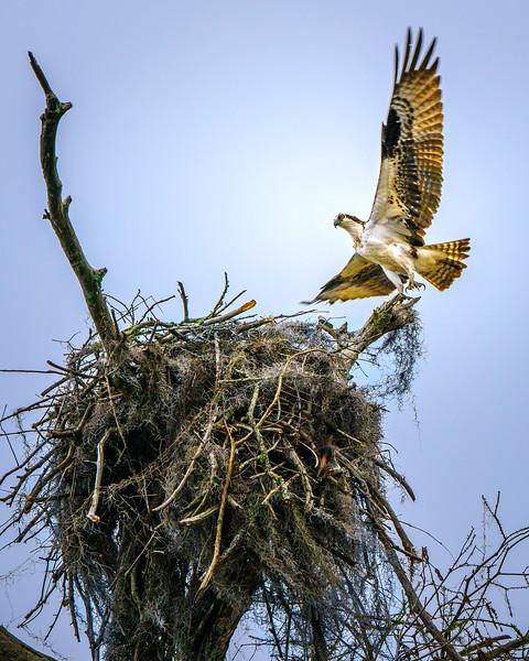 Osprey Nest (Caddo Lake, Texas)