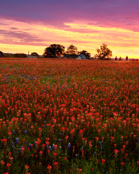 Field of wildflowers at sunrise - near Brenham, Texas