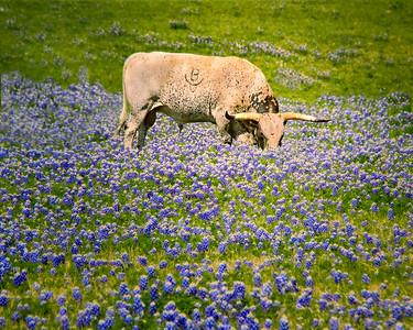 Texas Longhorn enjoyimg the bluebonnets