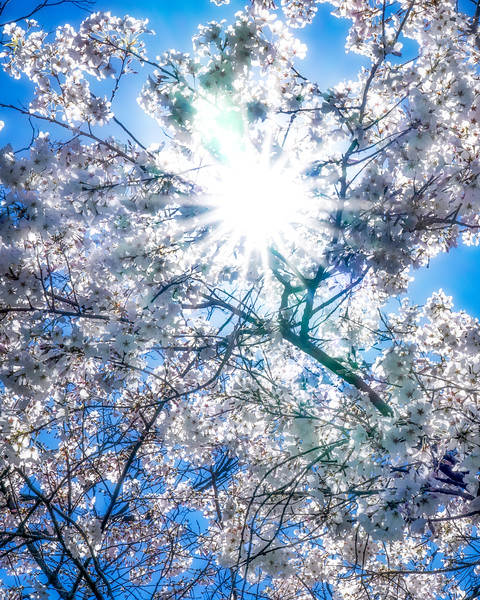 Sunburst thru the cherry blossoms - Dallas Arboretum