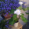 second begonia   lobelia