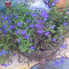 lobelia crystal palace grown from seed