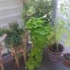 sweet potato vine, double impatiens, mint, borrage, trailing ficus, lobelia in the balcony corner