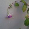 fuschia delta's sara blooming