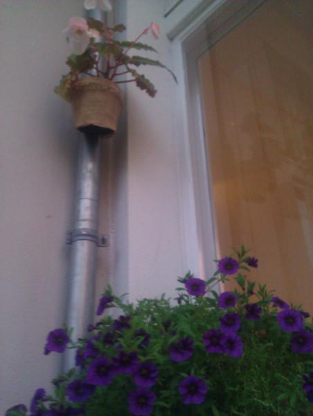 hanging fragrant begonia and million bells purple petunia