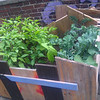 jalepeno pepper plants and siberian kale